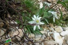 DSCN0127-Grande-guerra_fiori-tra-la-ruggine-del-tempo